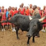 An ox to be ritually slaughtered